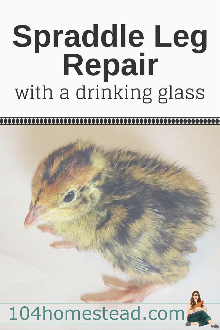 """Spraddle leg, also referred to as splay leg, is a condition where a chick's legs """"splay"""" out to the sides. It can often be repaired with a drinking glass."""