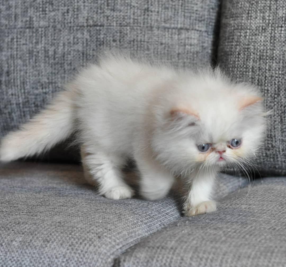 كل ما يتعلق بالقطط نقدمه بين أيديكم كافة المستلزمات من أكل ورمل وكذلك نوفر العديد من انواع القطط للبيع بأسعار تجدونها مع أي إعلا Kitty Cats Animals