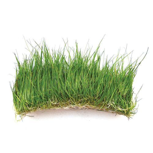 Eleocharis parvula 'Dwarf Hairgrass' - Tissue Culture