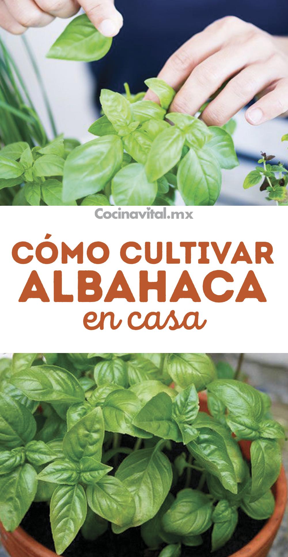 Cómo cultivar albahaca sin semilla en macetas
