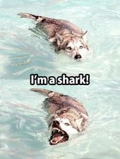 Some dogs think they are sharks Others will support your special needs canin  Funny Husky Meme  Funny Husky Quote  Some dogs think they are sharks Others will support you...