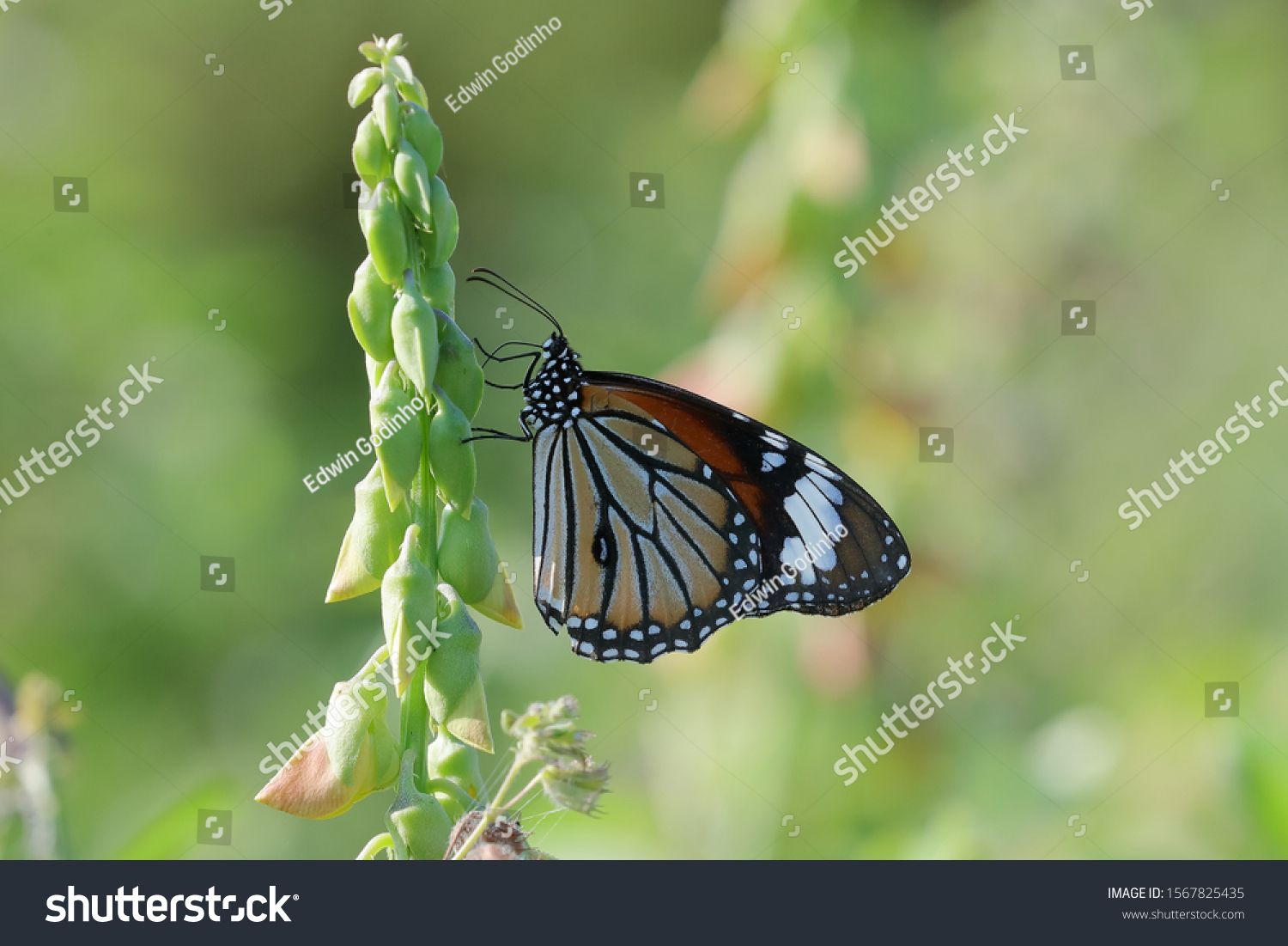 Danaus genutia, the common tiger, is one of the common butterflies of India. It belongs to the \ #Ad , #ad, #common#genutia#Danaus#tiger