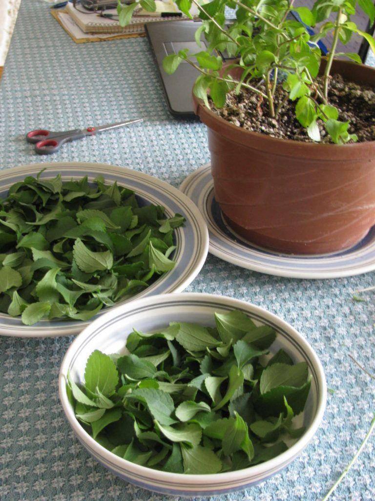 How To Grow And Use Stevia Natural Sugar Substitute Growing Stevia Stevia Plant Stevia