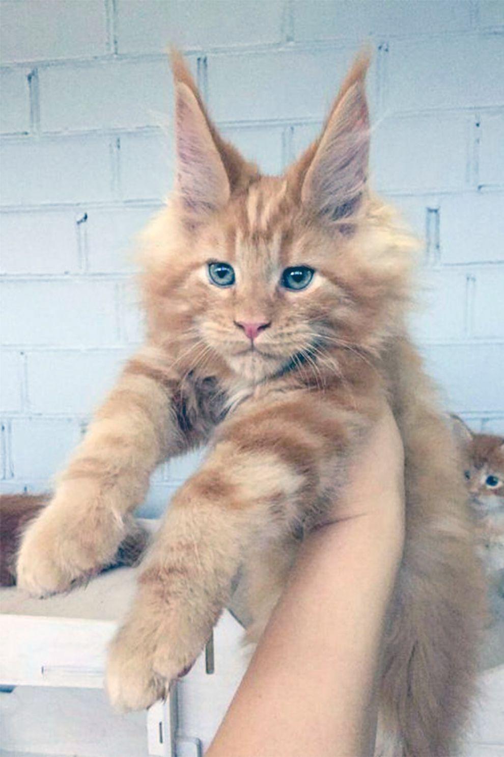 The Snack Thief Strikes Again Cute Baby Animals Kittens Cutest