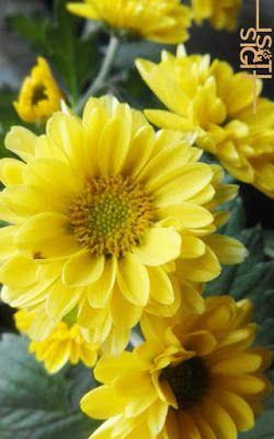 Pin On Bunga Chrysanthemum