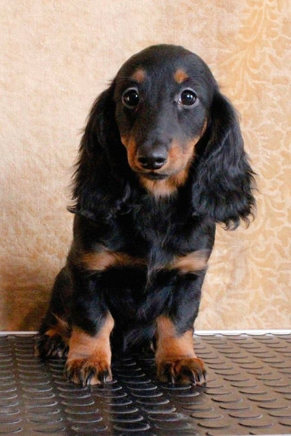 Long Haired Doxie Beauty By Noemi Dachshund Long Haired