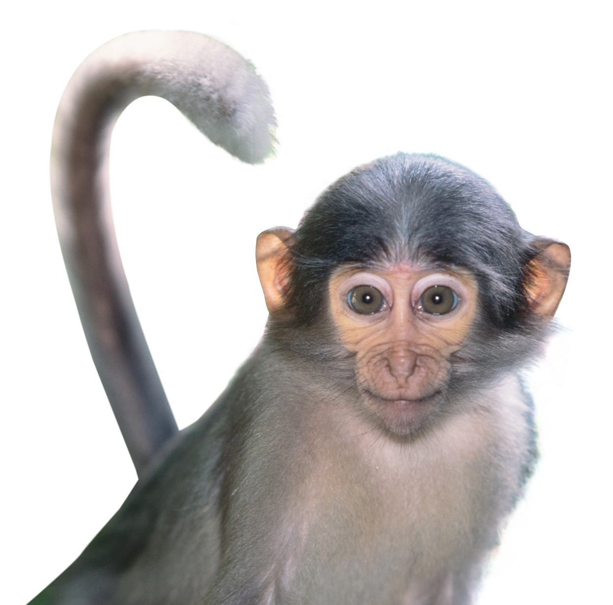 Monkey Png Image Free Png Png Images Image