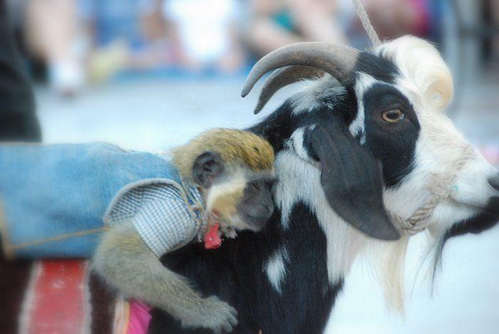 Картинки обезьяны и козы