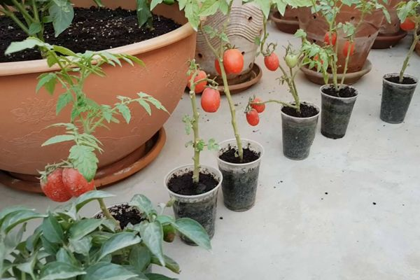 Update Of My Tomato Plants In Small Plastic Cups Vegetable