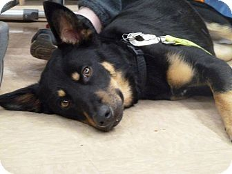 Sparta Nj German Shepherd Dog Australian Kelpie Mix Meet Jax A