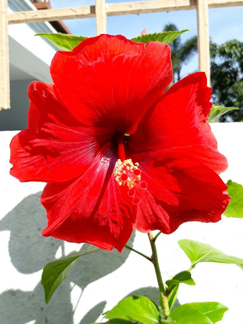 Unidentified Hibiscus Deep Red Hibiscus Flowers Hibiscus