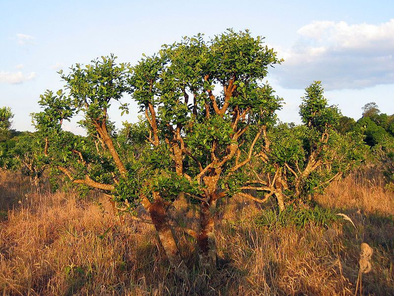 Ilex paraguariensis - Yerba maté tree - Fresh Seeds #Unbranded