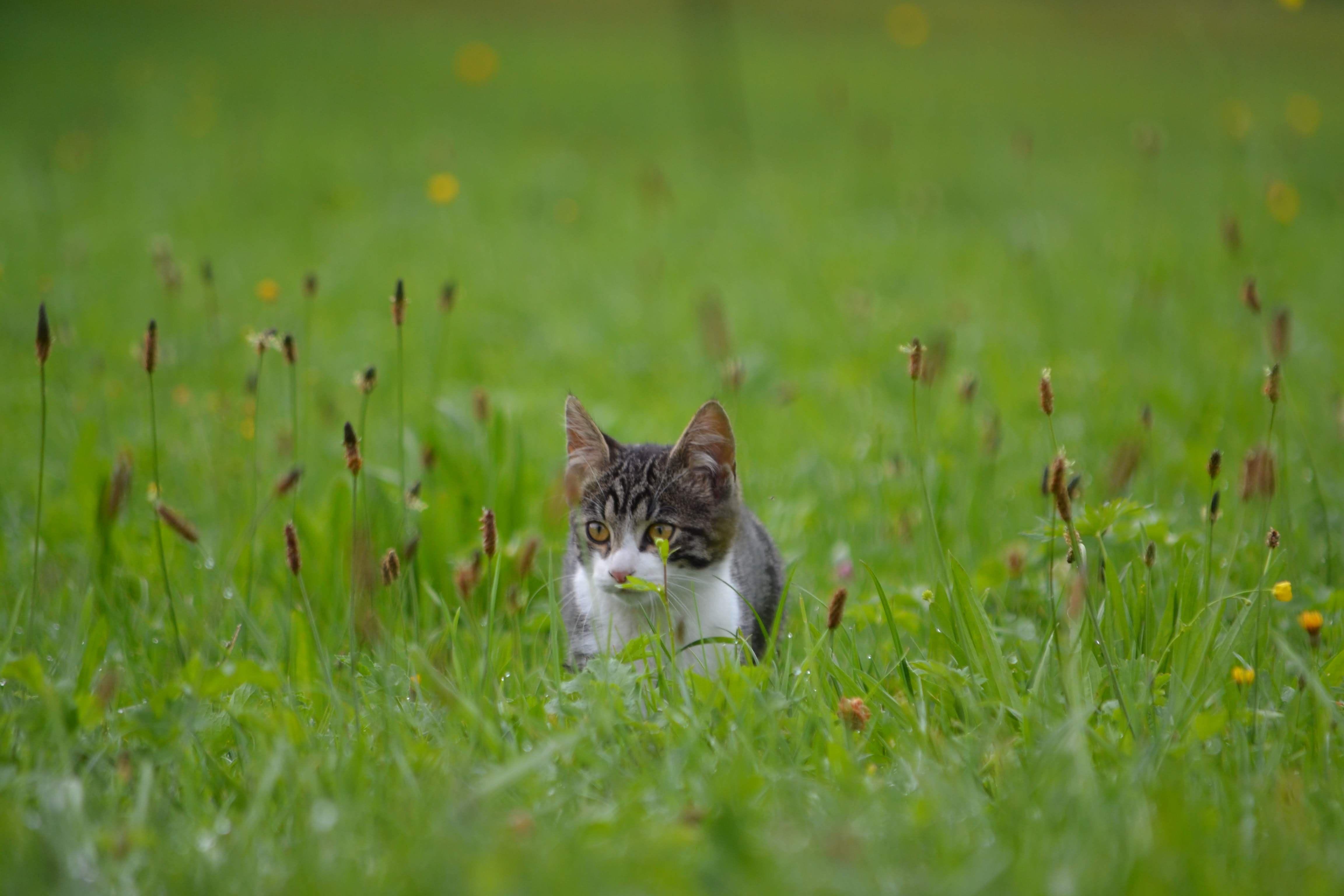 Grass Plant Mammal Silver Tabby Kitten Silver Tabby Kitten On Grass Field Tabby Kitten Silver Tabby Kitten Kittens