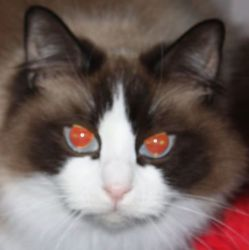 Adopt Jasmine On Petfinder Ragdoll Cat Cat Adoption Pet Finder