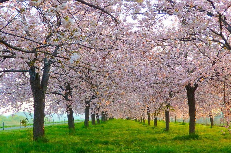 Famous Sakura Onsen Spots With Latest Full Bloom Forecast 2019 Selected Onsen Ryokan Best In Japan Private Hot Spring Hote Onsen Ryokan Onsen Onsen Japan