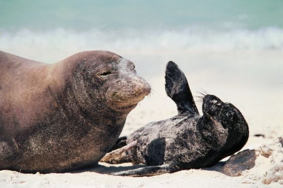 Hawaiian Monk Seal: endangered species