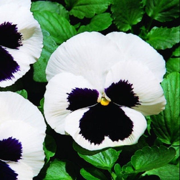 50 Pansy Seeds Giant White With Black Face Flower Seeds Flower Seeds Online Flower Seeds Black And White Flowers