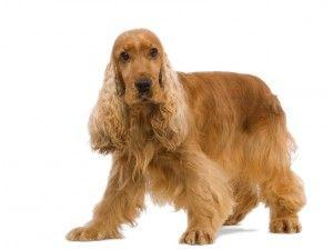 awesome Las 10 razas de perros más caras de mantener