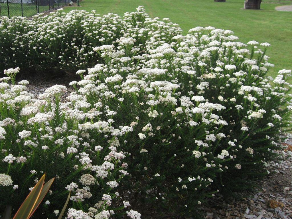 Ozothamnus diosmifolius uradianceu rice flower plants pinterest