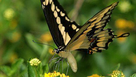 Global warming effects seen in butterfly populations - http://f3v3r.com/2012/08/20/global-warming-effects-seen-in-butterfly-populations/