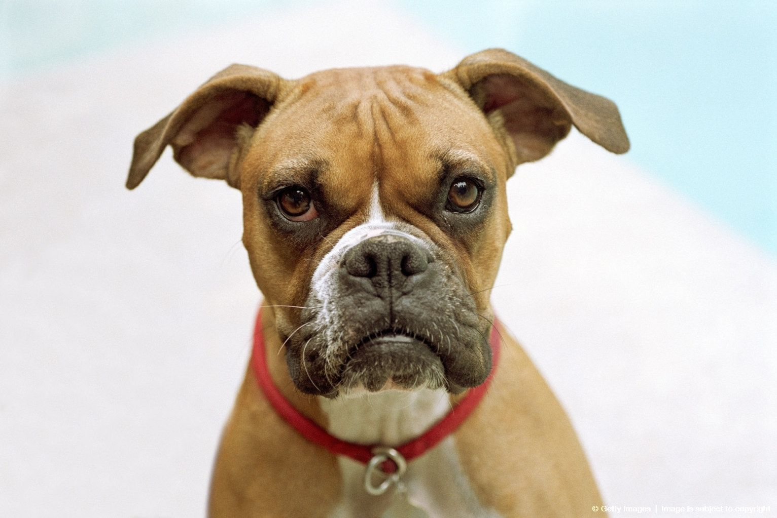 Boxer Dog The Ears Always Remind Me Of Little Bat Wings Lol