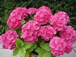 Hortensia en color rosa