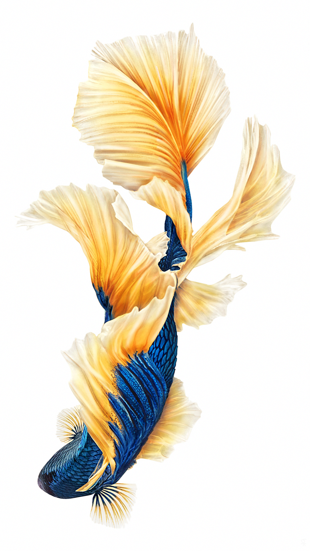 Gold Blue Fish Nature Wallpapers Tap To See More Iphone 6 Iphone 6s Still Wallpapers Background Fish Wallpaper Iphone Fish Wallpaper Gold Wallpaper Iphone