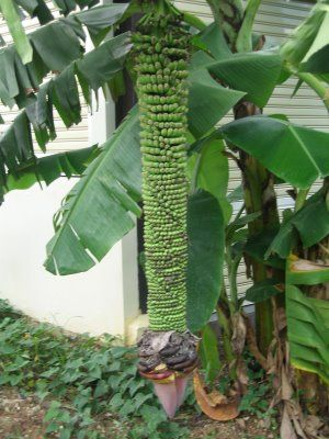 Pisang Seribu or Thousand Finger Banana tree can be found in various parts of Southeast Asia.