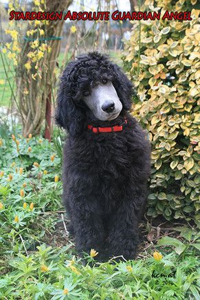 Chester Standard Style Pinterest Chester Poodle And