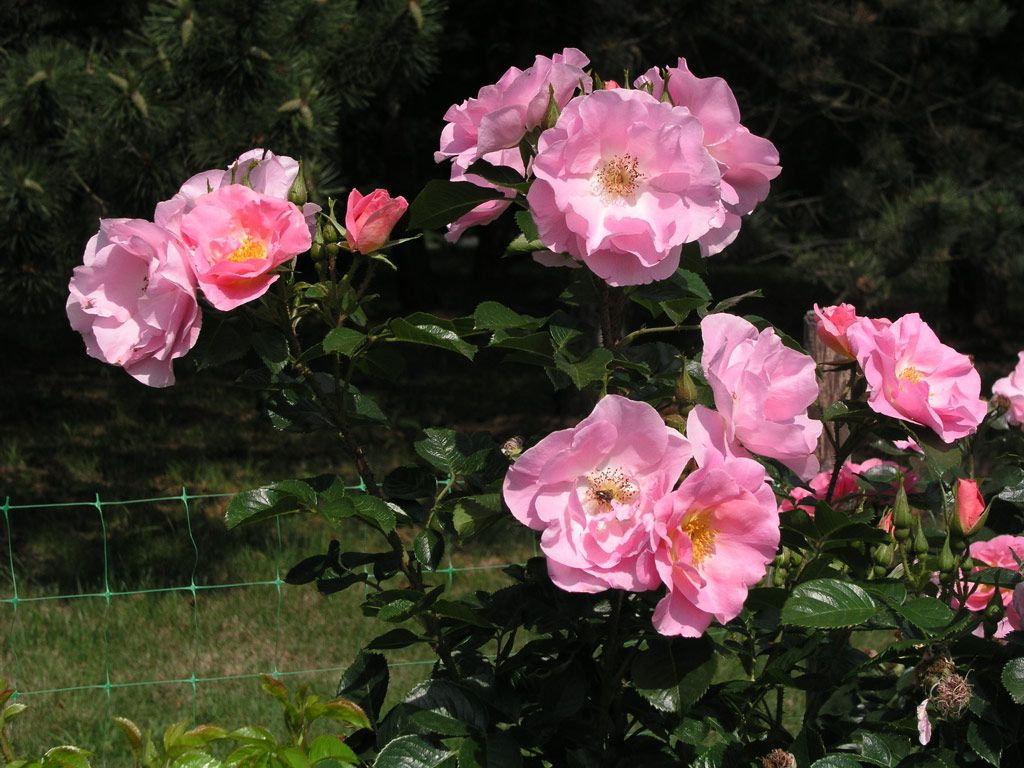 pink robusta roses pinterest garden planning and gardens