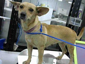 Houston Tx Cardigan Welsh Corgi Chihuahua Mix Meet Tammy A Dog For Adoption Welsh Corgi Mix Kitten Adoption Corgi Chihuahua Mix