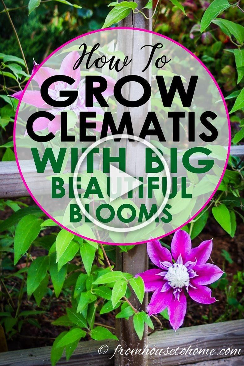 This Clematis care guide is awesome It has everything you need to know about how to grow Clematis including pruning planting and different types Click through to learn mo...