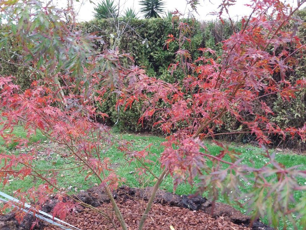 Acer Palmatum Seiryu 9 Meses Despues De Plantarlo Maples Acer