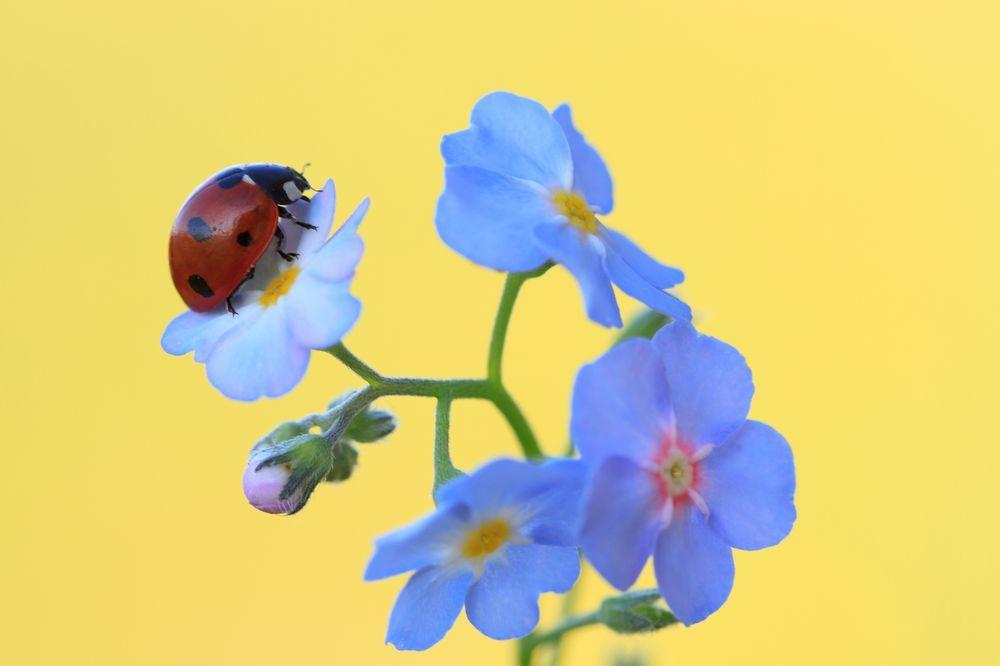 Ladybird (Coccinella septempunctata) Resting on Forget-me-not (Myosotis scorpioides)