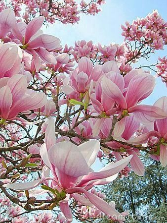 Pin By Louise Moize On Flower Power Beautiful Flowers Magnolia Flower Magnolia Trees