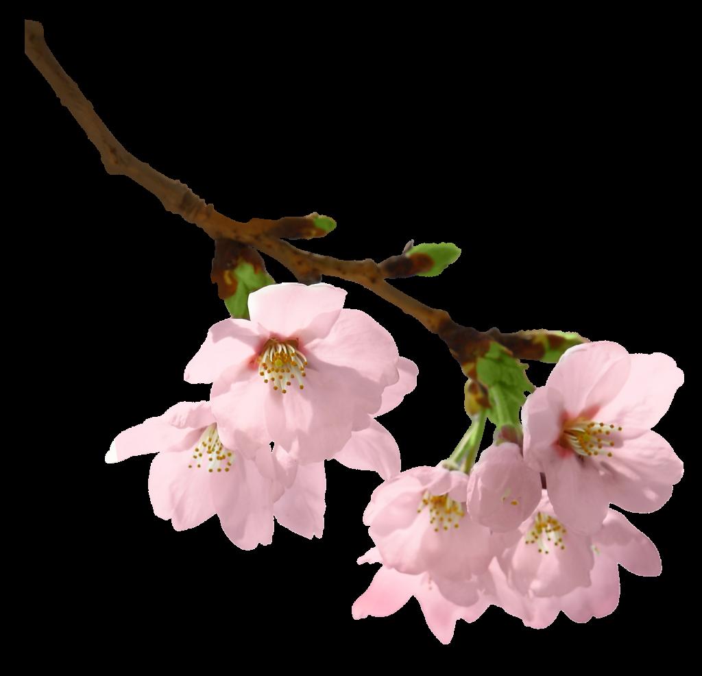 Яблони в цвету картинки на прозрачном фоне, эскизы открытки картинки
