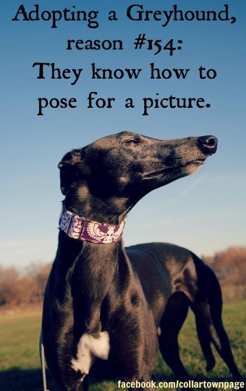 Adopt Greyhound Adoption Grey Hound Dog Greyhound Pictures