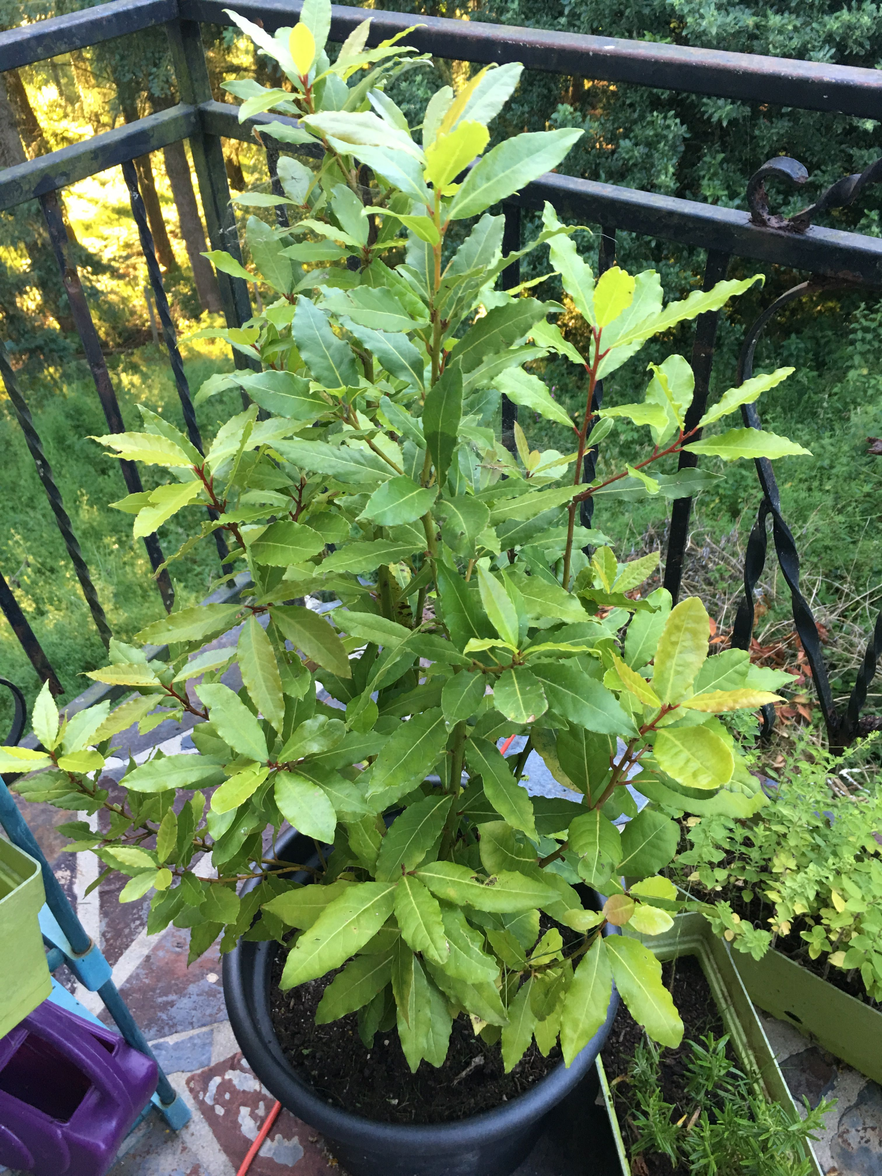 Bay Leaf Plants How To Grow And Care For Bay Laurel Bay Leaf Plant Plants Laurel Plant