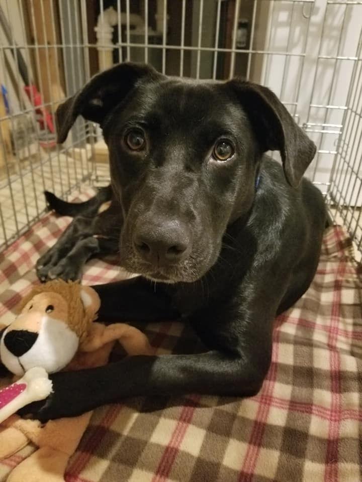 Adopt Ace (Great Family Pup) on Black labrador retriever