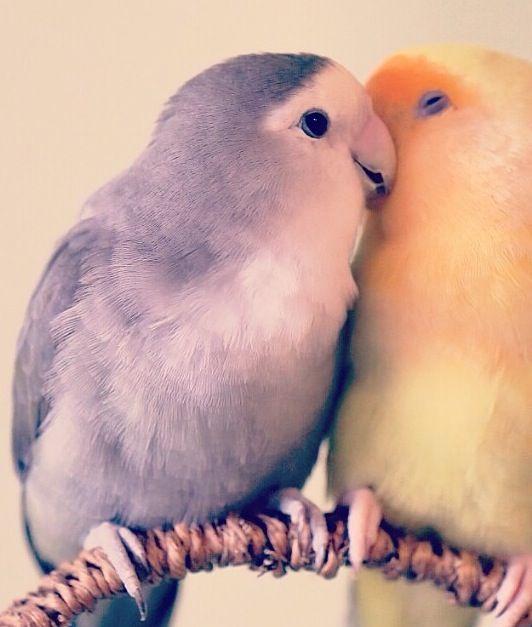 Kiss Romantic Love Birds Images