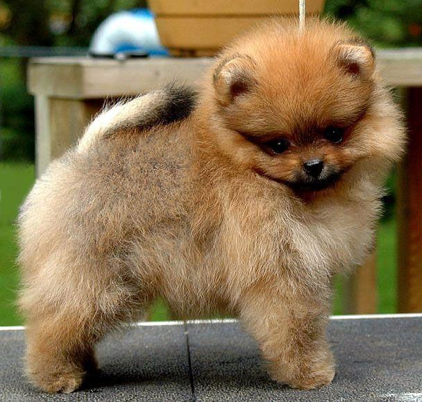 Cute Pomeranian Puppy For Sale In Finland