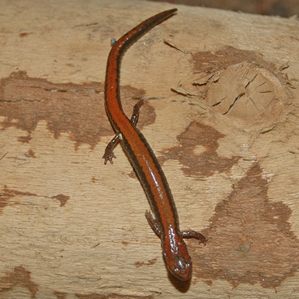March 20, 2014 The Redbacked salamanders are out and