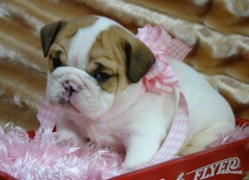 Ballerina Pup Bulldog Puppies