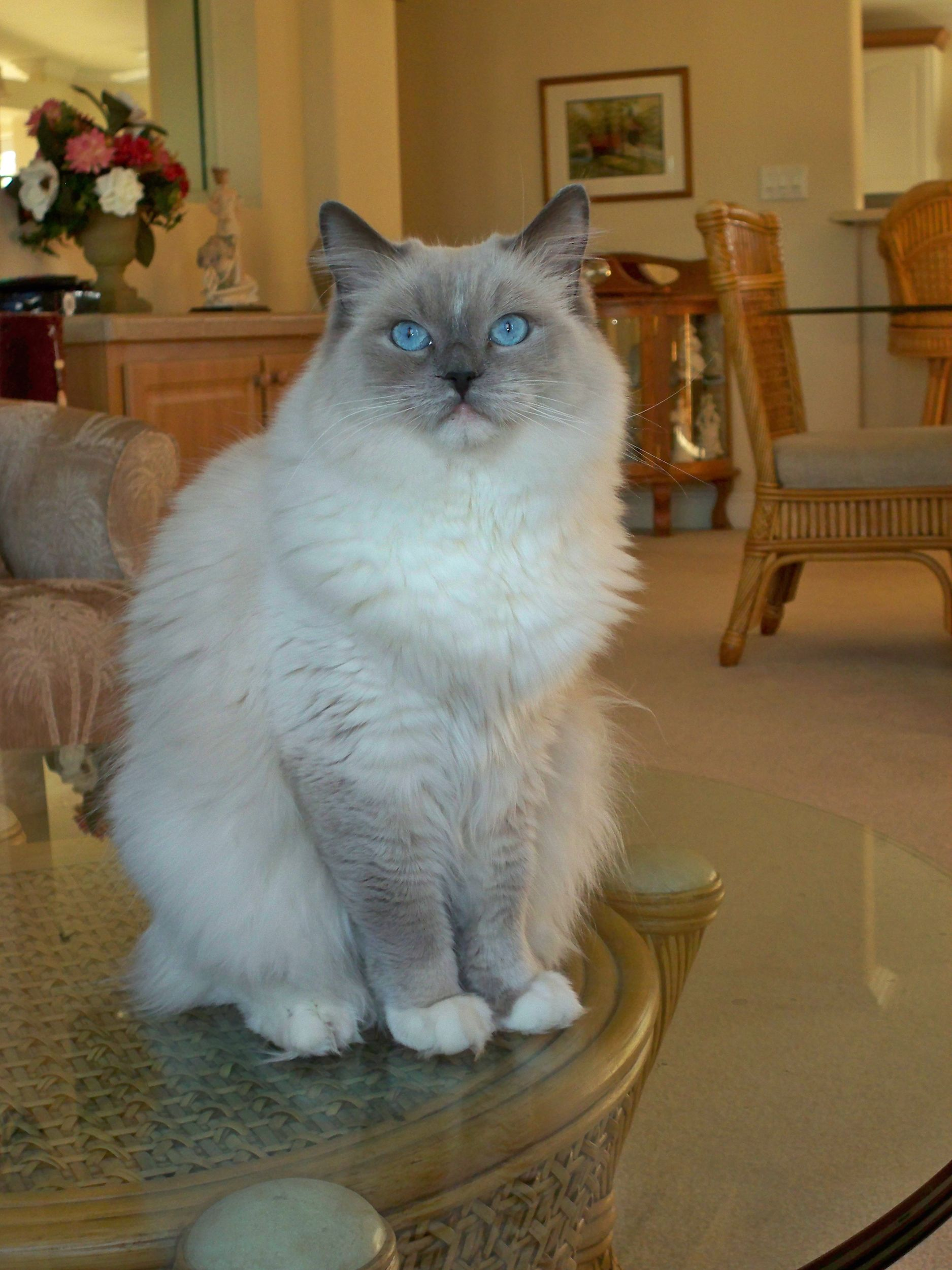 Look through Ragdoll cat breeders to find the Ragdoll