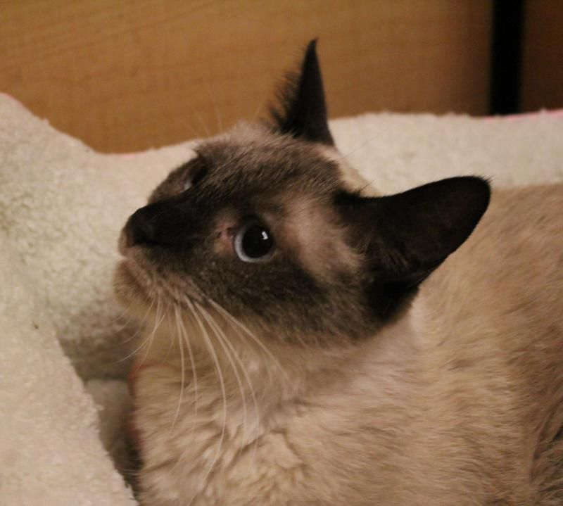 Adopt Johnny Girl On Abyssinian Cats Siamese Cats Cat Adoption