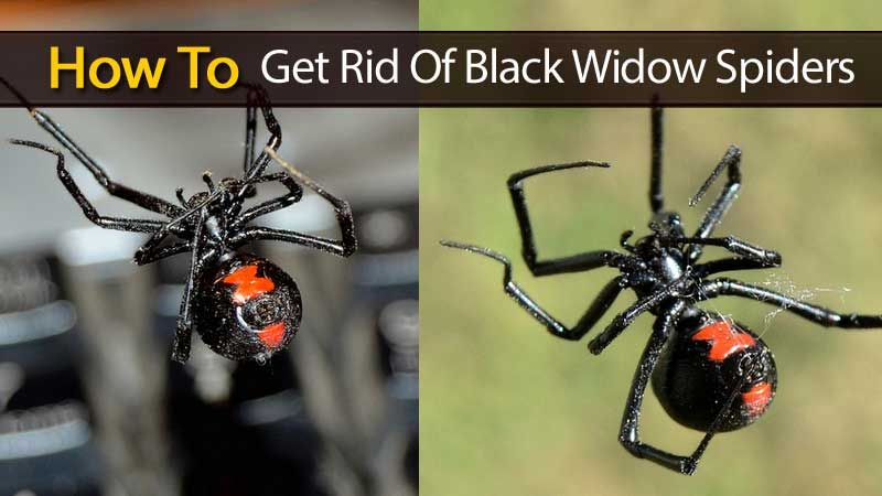 Black Widow Spider Natural Repellent