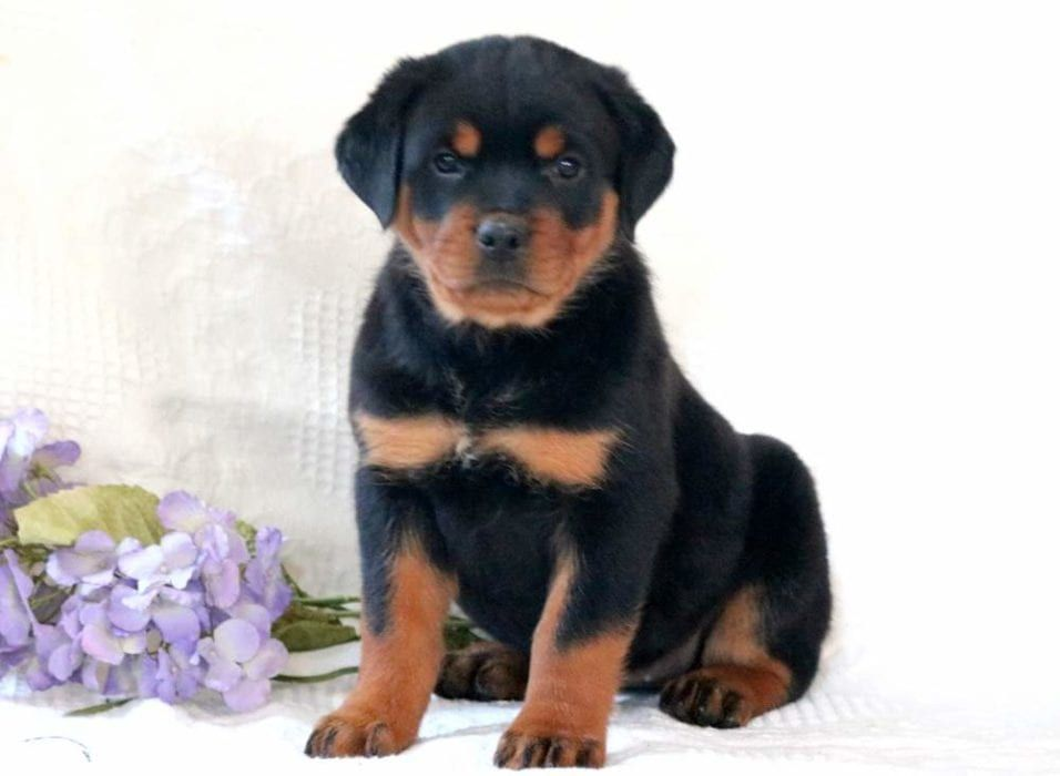 Lady Puppies Very Cute Puppies Cute Dogs