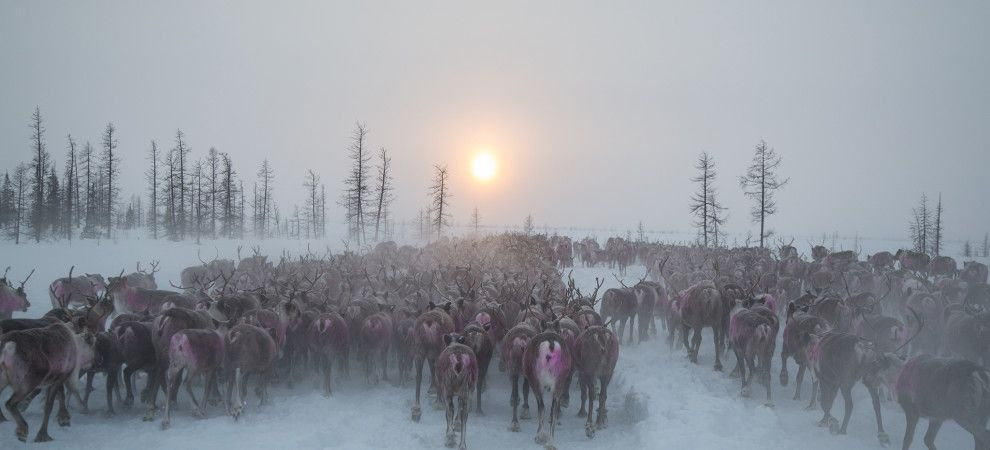 Picture of a reindeer herd in a snowy landscape