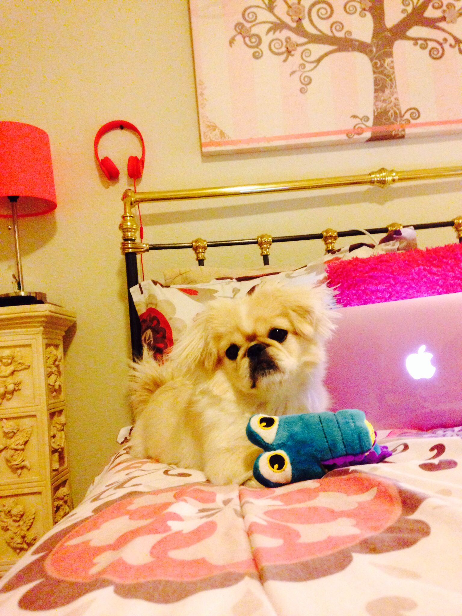 Pekingese invading the side of my bed! That's what they do