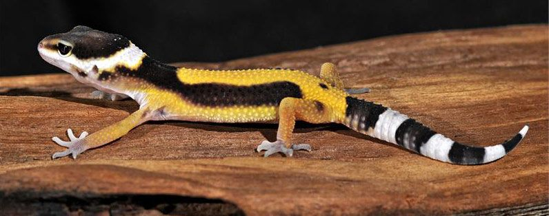 leopard gecko for sale | Leopard Geckos for sale | Leopard ...